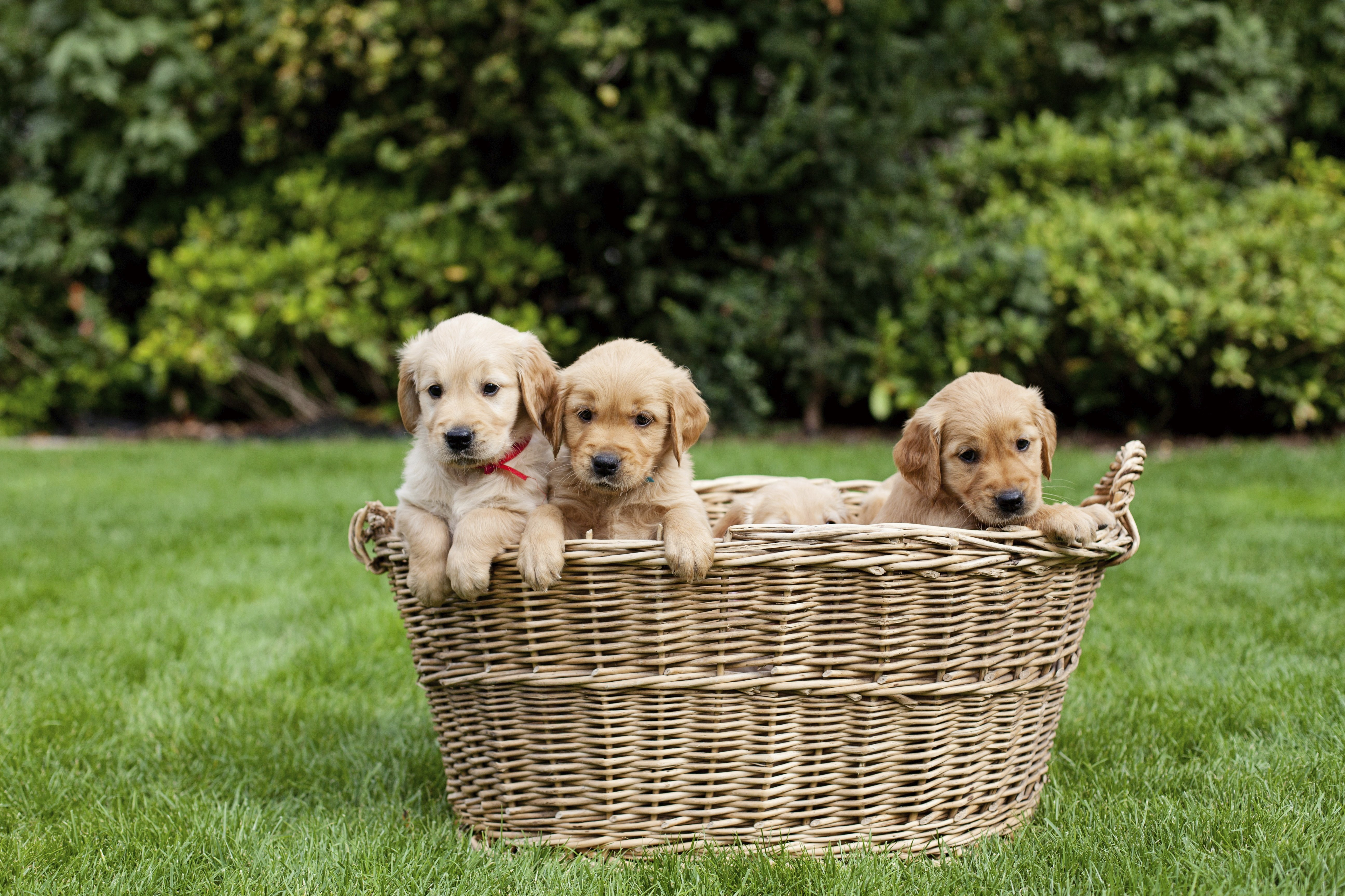 "Cuccioli di Golden retriever in un cestino. ""Title ="" golden-retriever-puppies-in-basket ""width ="" 500 ""caption ="" false ""data-limits ="" true ""style ="" larghezza: 500px; ""srcset ="" https : //blog.hubspot.com/hs-fs/hubfs/golden-retriever-puppies-basket.jpg? larghezza = 250 & nome = golden-retriever-puppies-basket.jpg 250w, https://blog.hubspot.com/ hs-fs / hubfs / golden-retriever-puppies-basket.jpg? larghezza = 500 & nome = golden-retriever-puppies-basket.jpg 500w, https://blog.hubspot.com/hs-fs/hubfs/golden-retriever -puppies-basket.jpg? larghezza = 750 & nome = golden-retriever-puppies-basket.jpg 750w, https://blog.hubspot.com/hs-fs/hubfs/golden-retriever-puppies-basket.jpg?width= 1000 & name = golden-retriever-puppies-basket.jpg 1000w, https://blog.hubspot.com/hs-fs/hubfs/golden-retriever-puppies-basket.jpg?width=1250&name=golden-retriever-puppies-basket .jpg 1250w, https://blog.hubspot.com/hs-fs/hubfs/golden-retriever-puppies-basket.jpg?width=1500&name=golden-retriever-puppies-basket.jpg 1500w ""size ="" (max -width: 500px) 100vw, 500px"